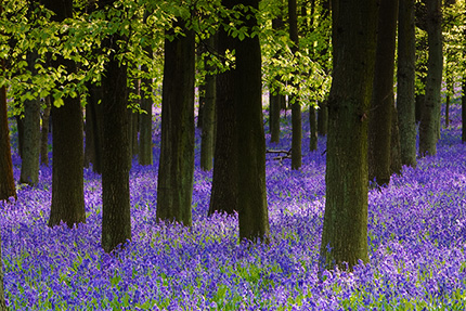 bluebell_grove_ashridge1