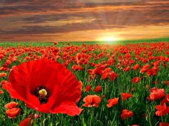 Nature_Fields_Poppy_field_027814