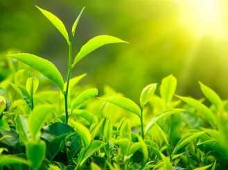Fresh-green-tea-leaves-sunlight_1024x768