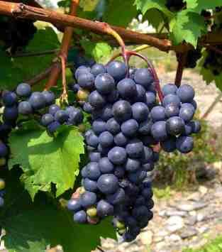 Nova_Scotia_grapes_nearly_ready_for_harvest
