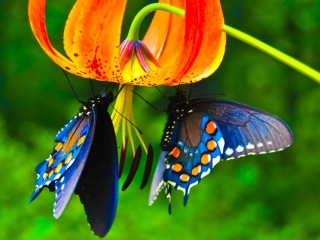 butterfly King_Priamos_butterfly