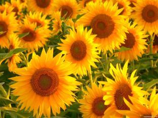 Sunflowers-2-891487