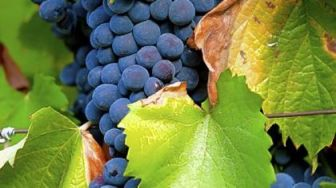 04-26-57_bunches-of-tinta-barroca-grapes_420