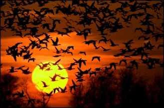 bombay-snow-geese-sunset-3-5-09-29127