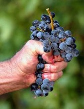 grapes_narrowweb__200x263