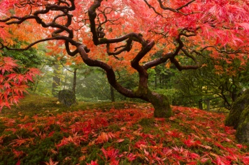 Japanese-Maple-Autumn