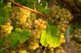 grapes-white-grapes-vine-leaves 2