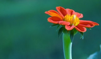 1280_Red-Gerbera_wallpaper
