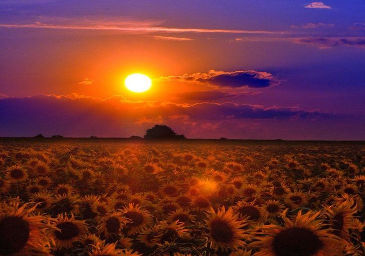 51d7443417c7f18c6945710a8587f938--field-of-sunflowers-sunflower-fields copy 2
